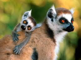 These are lemurs. They have nothing to do with this post, and aren't in the news, but clearly they should be. Look at them! They're hilarious!