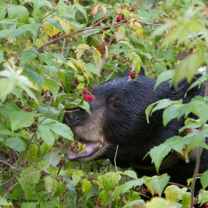 A bear eating raspberries, earlier. Raspberries are known to be a comfort food for headbutted caniforms.