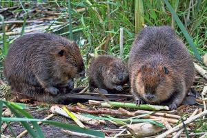 The Beaver Family, today.