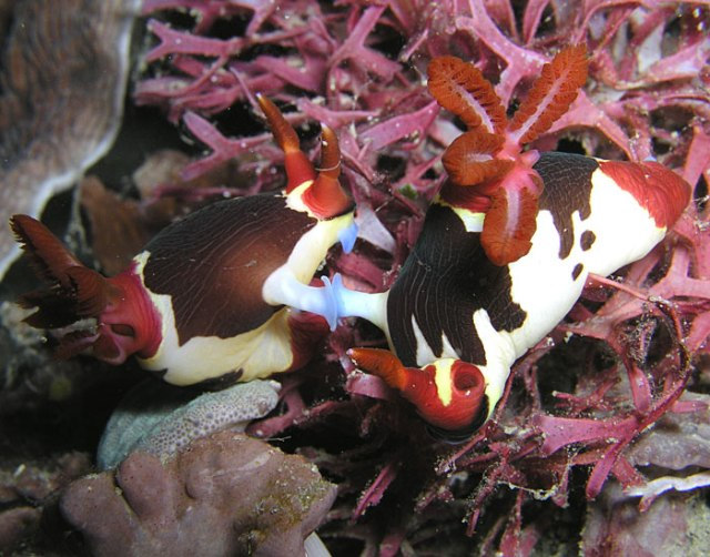 Apparently these nudibranchs are mating, those wild and crazy Nembrotha purpureolineata!